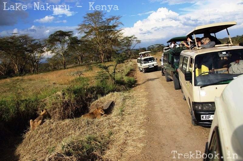 tourists safari vans watching lion cubs at lake nakaru