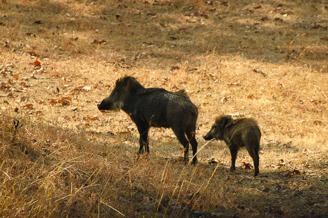 Some wild boar we spotted