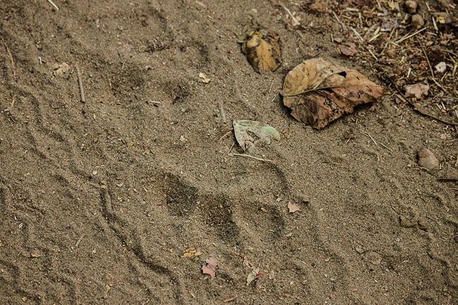 Tiger pug marks along the jeep trail
