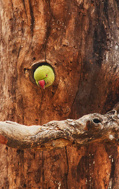 A parakeet pops out of its nest