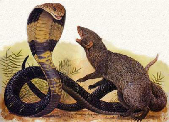 Do you know the story of Rikki Tikki Tavi?