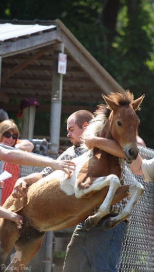 chincoteague pony auction