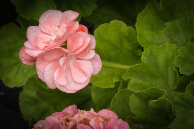 Pelargonia 'Dronning Ingrid*