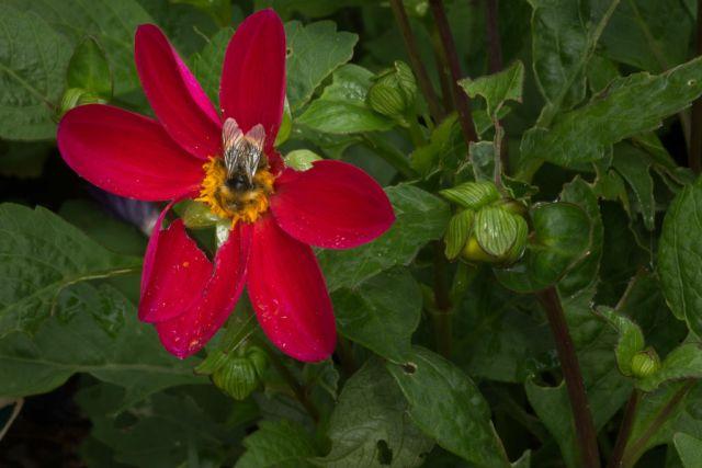 Sommergeorgine med insekt