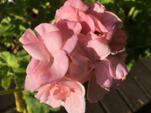 Pelargonia 'Dronning Ingrid'