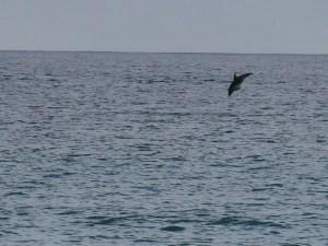 Delfin i vandet ved Kaikura