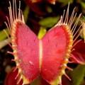Bẫy ruồi Venus flytrap có tên khoa học là Dionaea muscipula. Ảnh: Wikipedia.