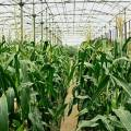 Cây trồng rất cần nước, cây ngô nếu gặp mưa nhiều thì khó thụ phấn