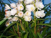 Với những cây lan thuộc loài Cymbidium sống phù hợp ở những nơi có nhiệt độ thay đổi trong ngày từ 21oC - 38oC và ban đêm phải lạnh
