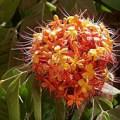 Hoa cây Vô ưu -saraca indica