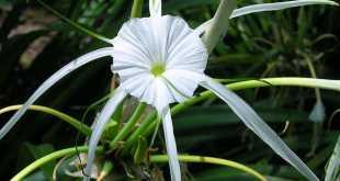 hoa bạch trinh biển