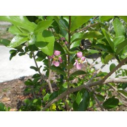 Small Crop Of Barbados Cherry Tree