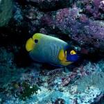 Blue-Girdled Angelfish, Papua New Guinea