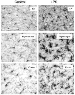 Microglial Acitvation after LPS Injection Fig 3 Qin 2007
