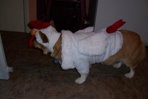 Corgi in a Chicken Costume