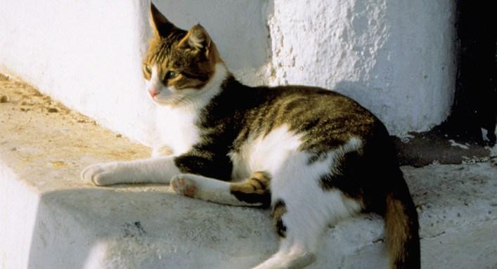 Cat sitting on ledge in Mykonos, Greece