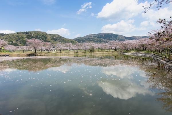 北条大池の桜-7