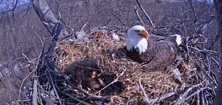 tuenight live bald eagle cam Egg
