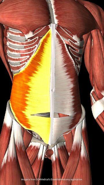 Transverso_abdomen