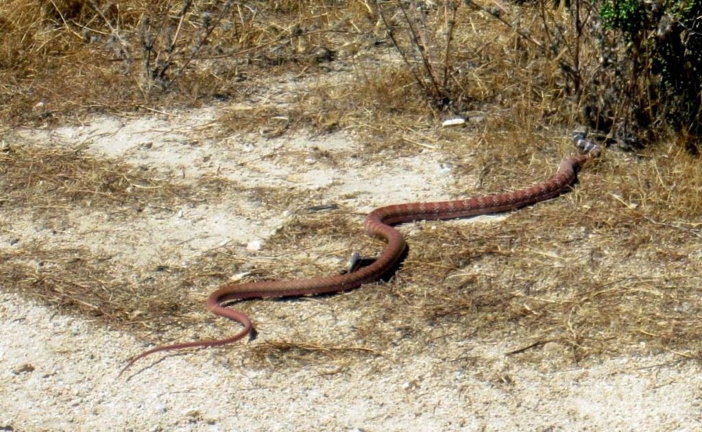 Snake at Vasquez Rocks