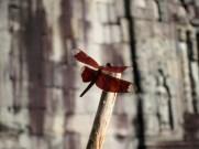Ta Prohm Dragonfly