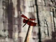 Ta Prohm Dragonfly
