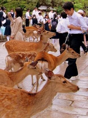 Oh, Deer, Nara