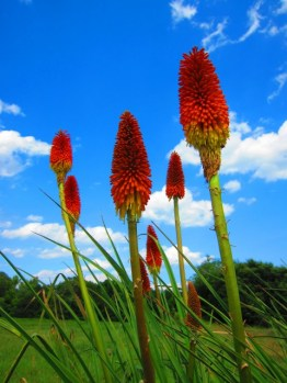 June- Red Hot Poker (Torch Lily), Chesnee, South Carolina