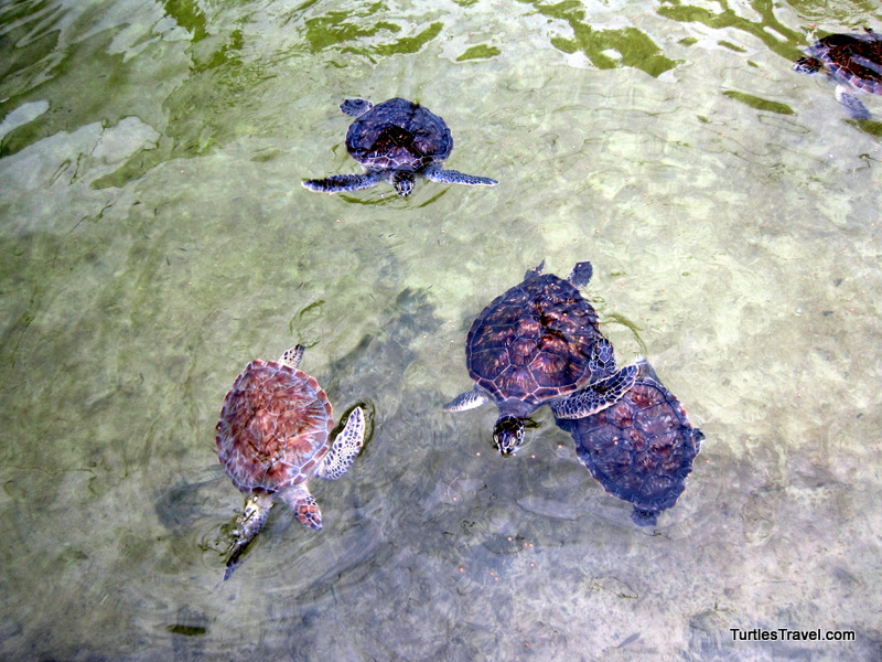 Green Turtles, Turtle Hospital