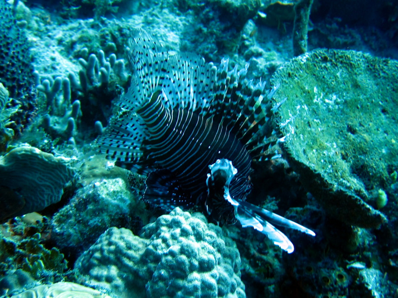 Lionfish spottend wile diving in the Bahamas