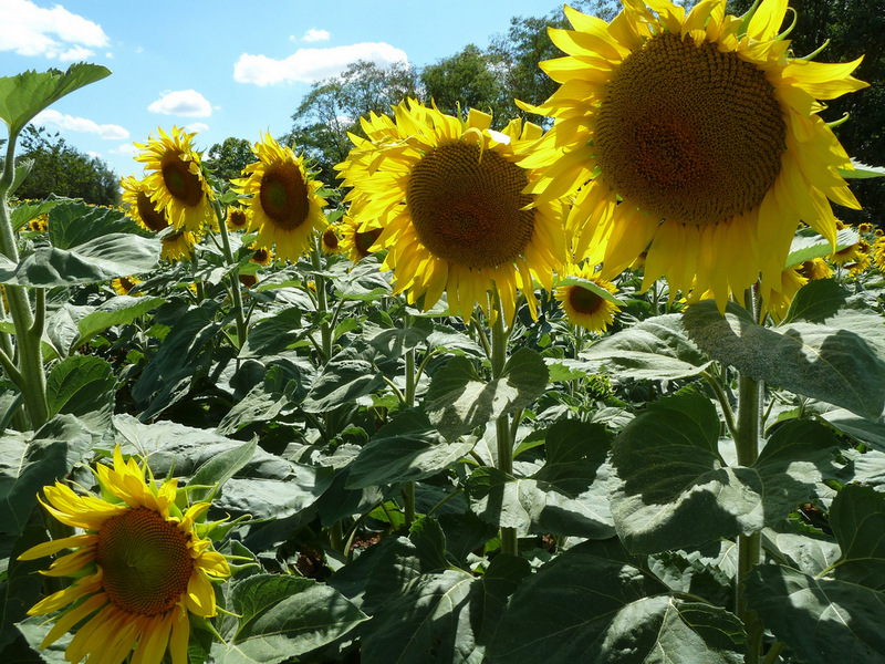 Summer in France and fields full of beaming sunflowers – just screams summer to me…