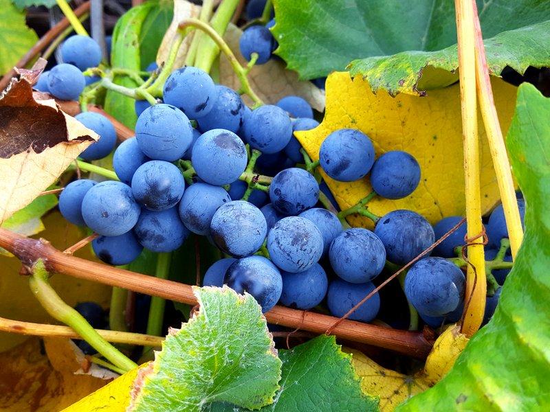 Vine to Jar: Colorado Concord Grapes