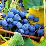 Colorado Concord grapes on the vine