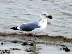 Seagull with lunch