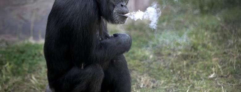 atrakcija-zoo-centra-cimpanza-ispusi-kutiju-cigareta-dnevno-naslovna
