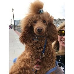 Upscale Dog Poodles Dog Poodles Tween Dogist Do Teacup Poodles Shed Can Poodles Shed Ir Fur