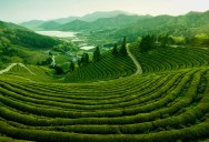 Picture of the Day: Japanese Tea Plantation Near Mount Fuji