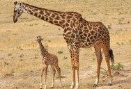 Eating Breakfast with Giraffes inKenya