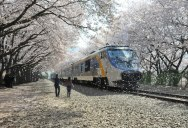 Picture of the Day: Yokohama Cherry Blossoms in Bloom