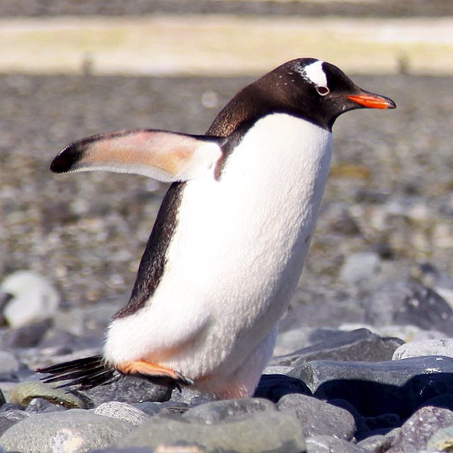 What do you think? Is he smiling? A Gentoo penguin…