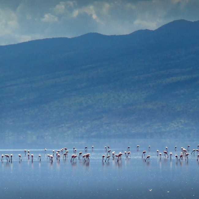 Thousands of flamingoes gather and feast in the shallow watershellip