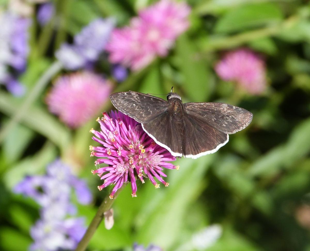 GlogeAmaranth-Moth-160625_cr