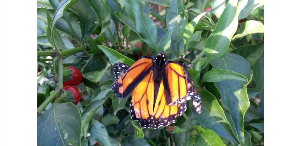 monarchs-oe-parasite