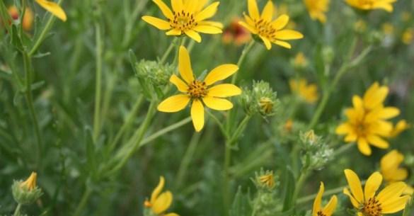 englemans-daisy-1-Copy-3-1024×682