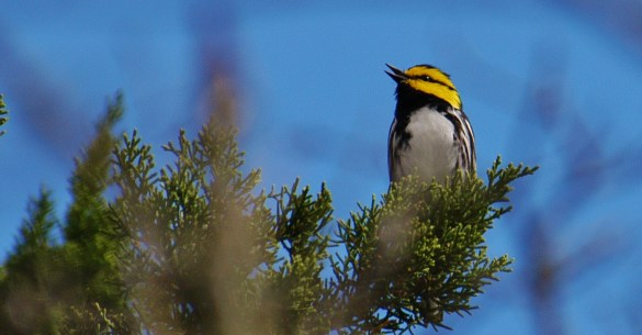 male-golden-cheeked-warbler