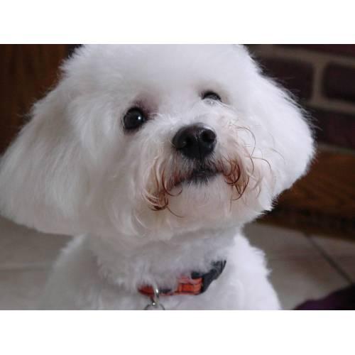 Medium Crop Of Small White Dog Breeds