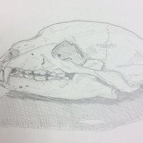 Drawing of the black bear skull