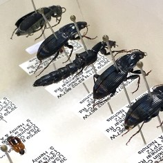 Beetles mounted by Jan