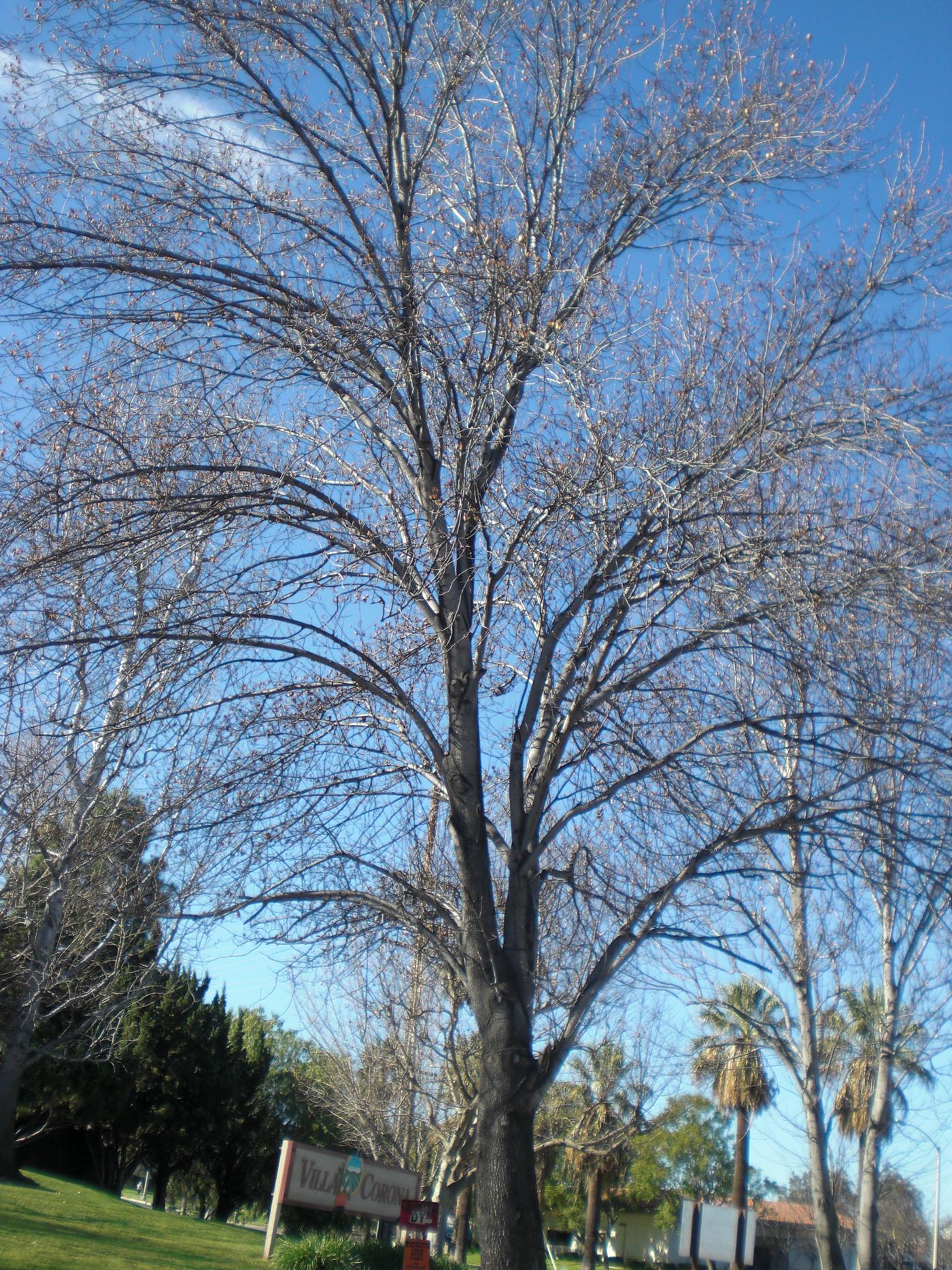 Fullsize Of Ornamental Pear Tree