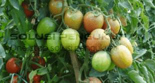Budidaya tomat yang baik